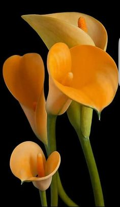 New Absolutely Free Calla Lily plant Ideas Calla lilies are definitely the essential bridal bouquet flower. This lamps of this African plant ar Exotic Flowers, Orange Flowers, Amazing Flowers, Beautiful Roses, Beautiful Flowers, Tiger Lily Flowers, Flowers Bunch, Calla Lily Flowers, Flowers Uk