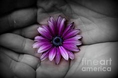In The Palm of my Hand by Clare Bevan  @cnb74 #osteospermum #colorsplash