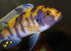 Reducing Cichlid Aggression in your aquarium