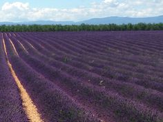 Lavender Field #Provence #France