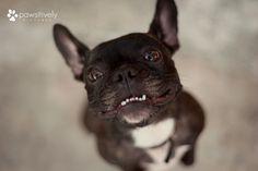 """My teeth are stuck"", French Bulldog."