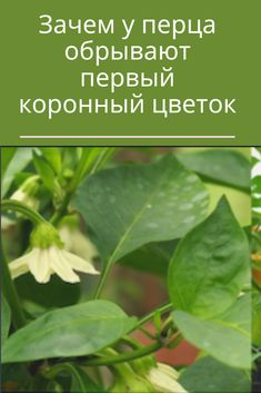 Growing Peonies, Vegetable Garden Design, Plant Leaves, Herbs, Vegetables, Plants, Tomato Plants, Backyard Farming, Botany