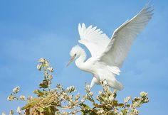 Gorgeous Great Egret by Fraida Gutovich!!!