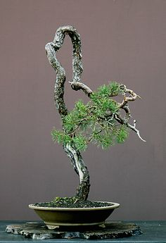 Walter Pall Bonsai Adventures: Scots pine #1