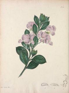 podalyria styracifolia      ...