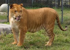 This is a Liger - a mix between a male lion and female tiger. - Ligers are the largest of all none extinct felines. -  A male tiger and female lion is called a Tigon.