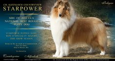 Alfenloch Collies / Countryview Collies -- CH Alfenloch Countryview Starpower