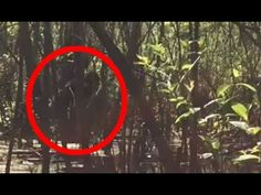 This is a sighting of a creature in Florida called skunk ape. Skunk ape is a humanoid cryptid reported to live in Florida, North Carolina, and Arkansas. They habitat are known to be swamps, trees/forest. The name comes from the fact that it has a strong odor like bigfoot and it's appearance also like bigfoot except that some report it reassembled a orangutan