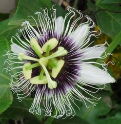 How to Grow #Passion Fruit from Seed