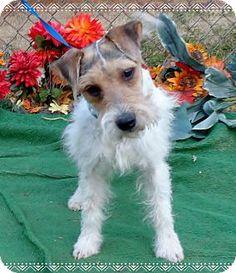 Marietta, GA - Wirehaired Fox Terrier Mix. Meet RAZZY, a dog for adoption. http://www.adoptapet.com/pet/11973660-marietta-georgia-wirehaired-fox-terrier-mix