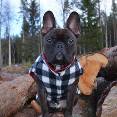 This French Bulldog is Lumberjack Chic.  Instagram photo by @frankbulldog via ink361.com