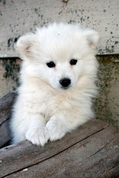 can't wait, 9 more days until our little eskie arrives! Puppies And Kitties, Cute Puppies, Cute Dogs, Doggies, Miniature American Eskimo, American Eskimo Puppy, Pet Puppy, Dog Cat, Japanese Spitz