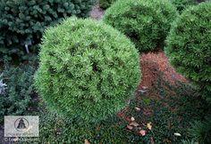 Pinus mugo 'Ježek' -