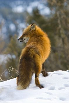 Red Fox (Vupes vulpes), Montana, in winter, Captive Most Beautiful Animals, Beautiful Creatures, Animals And Pets, Cute Animals, Wild Animals, Baby Animals, Fox In Snow, Wolf Hybrid, Fantastic Mr Fox