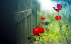 fence-flowers-red-tulips hd wallpaper by MariJane Red Tulips, Tulips Flowers, Purple Flowers, Poppies, Red Flower Wallpaper, Red Geraniums, Beautiful Flowers Wallpapers, Poster Pictures, Flower Images