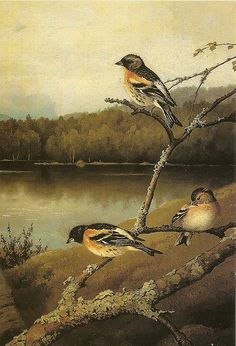 Järripeippojam Chaffinches by Ferdinand von Wright, 1894 Chaffinch, Wright Brothers, Ferdinand, Pet Birds, Finland, Still Life, Artsy, Drawing, Landscapes