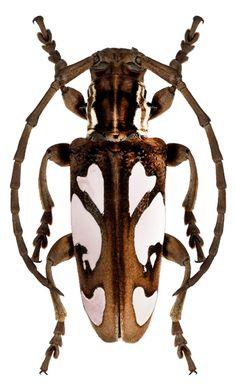 Calothyrza margaritifera