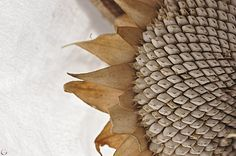 Dried Sunflower - Faded Colors: Tan, Brown, Grey, Mustard Yellow