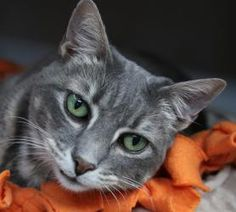 Lovables: Stephanie is an adoptable Tabby - Grey Cat in Sarasota, FL. Stephanie is a friendly girl once she is coaxed out of hiding. She seems to know her name is Stephanie. She enjoys being held, petted and  will purr like crazy to let you know she is happy.