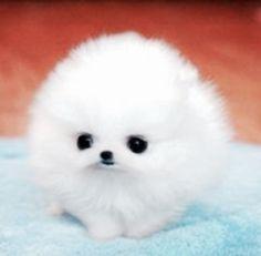 Cute #pomeranian puppy