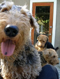 Airedale Terrier! ♥