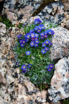 Rock Flowers, All Flowers, Flowers Nature, Beautiful Flowers, Succulents Garden, Garden Plants, Planting Flowers, Alpine Garden, Alpine Plants