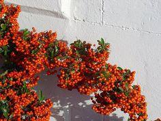 [pyracantha1.jpg] http://egardens.blogspot.ca/2009/01/plants-for-winter-interest.html