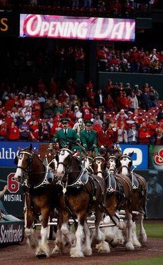 St Louis Baseball, St Louis Cardinals Baseball, Stl Cardinals, Majestic Horse, Beautiful Horses, Budweiser Commercial, Big Horses, Black Horses, Busch Stadium