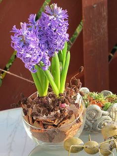 #Hyazinthen , Hyacinthus