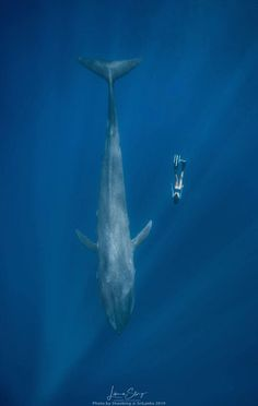 Free diver at depth with a massive whale in the open ocean - love the sunbeams going down around them Fast Crazy Nature Deals. Types Of Sharks, Skin Diver, Underwater Pictures, Cave Diving, Scuba Diving, Leagues Under The Sea, Ocean Creatures, Blue Whale, Underwater Photography