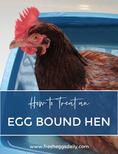 every hour or so until she lays her egg. As a Last Resort for an Egg Bound Hen If Egg Bound Chicken, Massage Her, Clean Chicken, Raising Chickens, Dog Crate, Edible Flowers, Chickens Backyard, Egg Shells, Hens