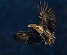 Pekka Pulsa fbLUONTOKUVAUS Bald Eagle, Finland, Bird, Animals, Animales, Animaux, Birds, Animal, Animais