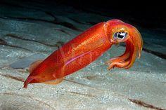 Hawaii Ocean Underwater | OVAL SQUID Sepioteuthis lessoniana HAWAII. pacific ocean underwater ... Ocean Underwater, Underwater Creatures, Ocean Creatures, Underwater Images, Beautiful Sea Creatures, Ocean Pictures, Sea Slug, Life Aquatic, Beautiful Fish