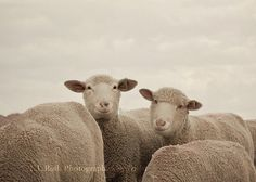 Smiling Sheep?  Expressions are straight out of the camera and were not digitally enhanced. Fine Art Photography by Laura Ruth  5x7 $15.00