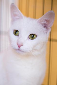 Meet Ellie, an adoptable Domestic Short Hair-white looking for a forever home near Chicago, IL. If you're looking for a new pet to adopt or want information on how to get involved with adoptable pets, Petfinder.com is a great resource.