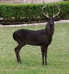 Melanistic deer...1 in every 10,000