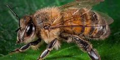 Honey bees are active pollinators and produce honey, which they feed on during the colder months. The honey bee is the only social bee in the U.S. whose colony can survive many years.