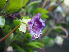Cobaea scandens -- på min liste over perfekte klatreplanter! Cathedral, Outdoors, Garden, Plants, Flowers, Garten, Lawn And Garden, Cathedrals, Gardens