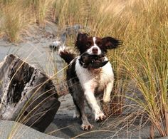 English Springer Spaniels are the best dogs all around!