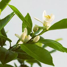Fragrant Houseplants by bhg: The sweet scent of orange, lemon, grapefruit, or other citrus blossoms lifts you up on even the gloomiest of winter days.  Most are surprisingly easy to grow, provided you give them enough light. If you're patient, you may even get to enjoy homegrown fruits. #Houseplants #Fragrant