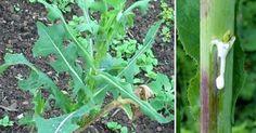 Věděli jste, že jedna běžná bylinka, která hojně roste na loukách, se svými účinky podobá opiu, ale nemá jeho žádné vedlejší účinky?