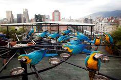 Rascacielos de Caracas, el  nuevo albergue de guacamayas