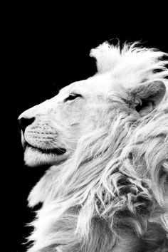 """This image creates a really solid dynamic that just screams lion. The strong contrast in color and the regal posture of the lion really help illuminate the """"king of the jungle"""" aesthetic. Beautiful Cats, Animals Beautiful, Majestic Animals, Animals And Pets, Cute Animals, Wild Animals, Baby Animals, Gato Grande, Lion Love"""