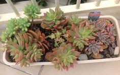 Sedum Xrubrotinctum 'Aurora' (Jelly Bean) - Sediveria Pat's Pink & Graptoveria Rose Queen - full sun in May