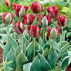 Tulipa Esperanto from Van Zyverden Inc. - Year of the Tulip - National Garden Bureau