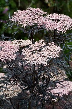 Sambucus nigra 'Eva' or 'Black Lace' /elder 'Eva' - has AGM award.