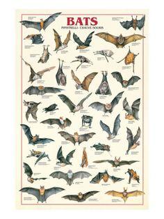 Types of Bats Chiroptera Animal Education Poster – BananaRoad poster Bats Chiroptera Animal Education Poster Murcielago Animal, Animals And Pets, Cute Animals, Tier Fotos, Fauna, Beautiful Creatures, Animal Kingdom, Pet Birds, Mammals