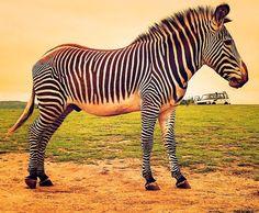 """BigZebra,LittleTruck"" by LisaB73! Find more inspiring images at ViewBug - the world's most rewarding photo community. http://www.viewbug.com/photo/60415137"