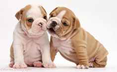 English Bulldog Puppies For Sale  see more at : http://www.openfreeads.com/pets/free/english-bulldog-puppies-for-adoption/12888.html#.U-oE31fA2d8