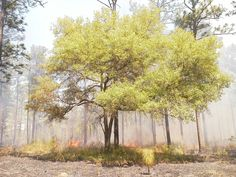 Live Oak protecting itself from fire